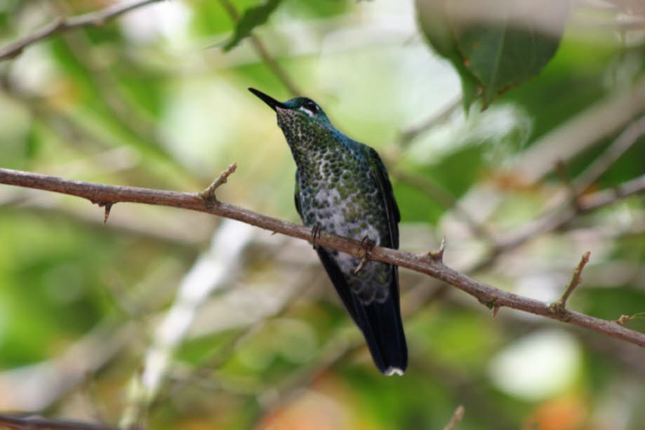 Kolibri in Costa Rica
